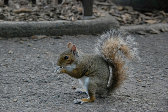 squirrel debout